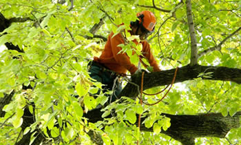 Tree Trimming in Thornton CO Tree Trimming Services in Thornton CO Tree Trimming Professionals in Thornton CO Tree Services in Thornton CO Tree Trimming Estimates in Thornton CO Tree Trimming Quotes in Thornton CO